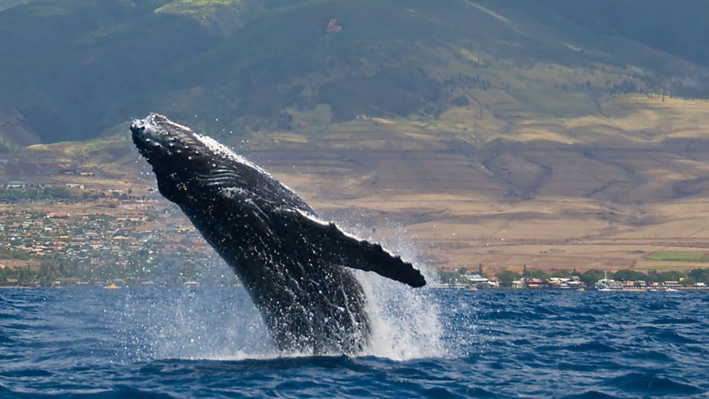 Humpback Whale Breach - Pam Daoust