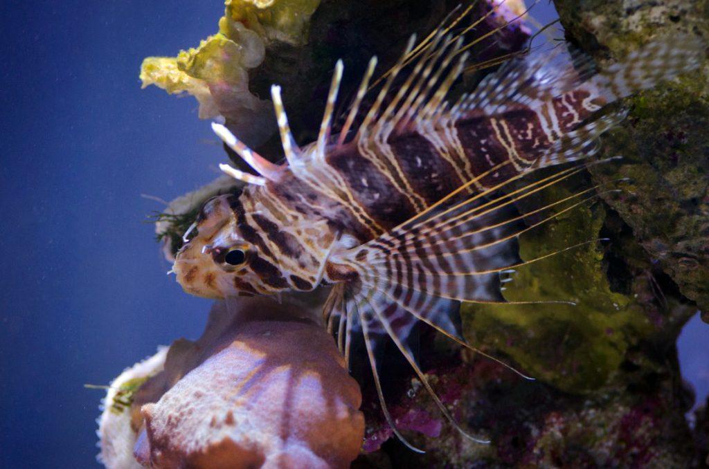 Turkeyfish