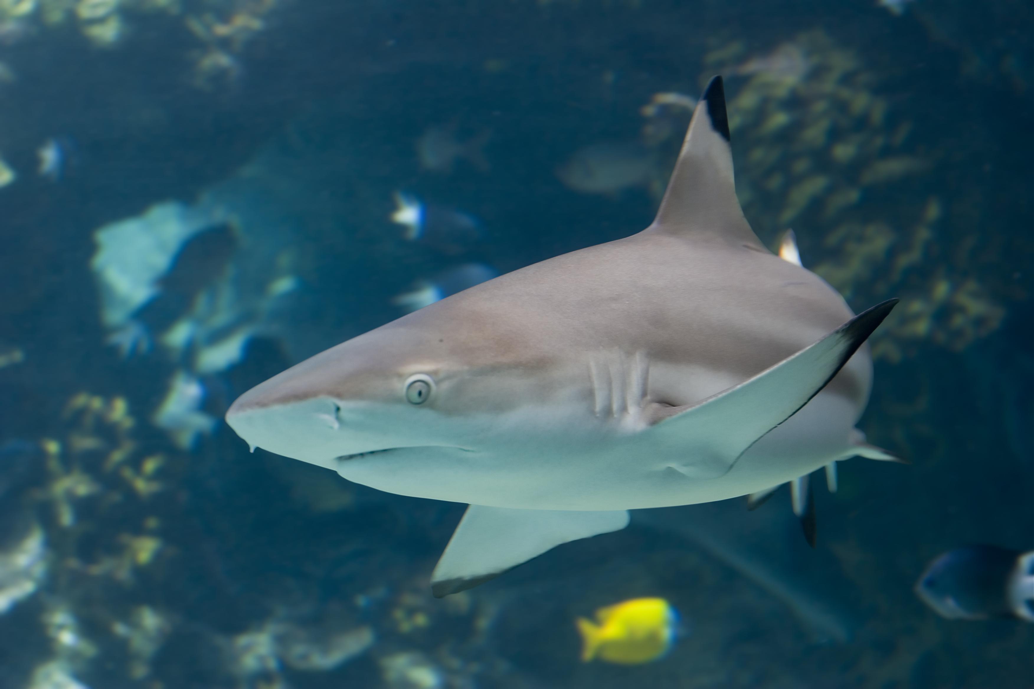 Blacktip Reef Shark - Maui Ocean Center