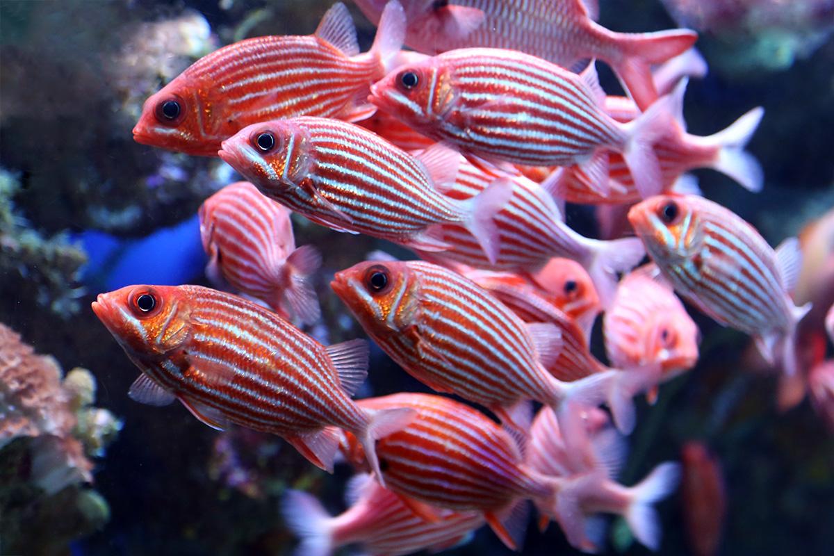 Hawaiian squirrelfish maui ocean center for Big eye squirrel fish