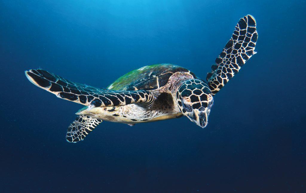 hawaiis quototherquot sea turtle maui ocean center