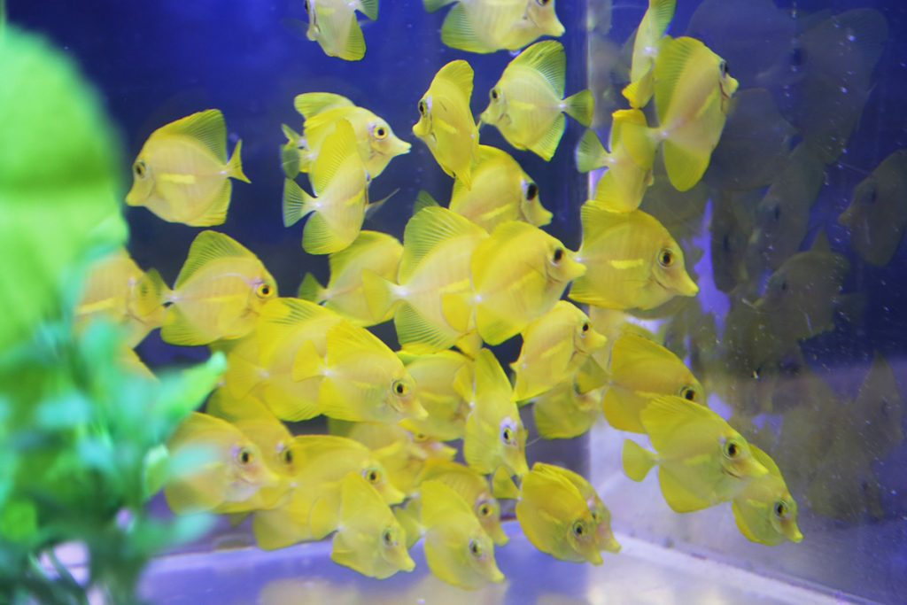 Yellow Tangs HPU Oceanic Institute 12.18.17-2 (web)
