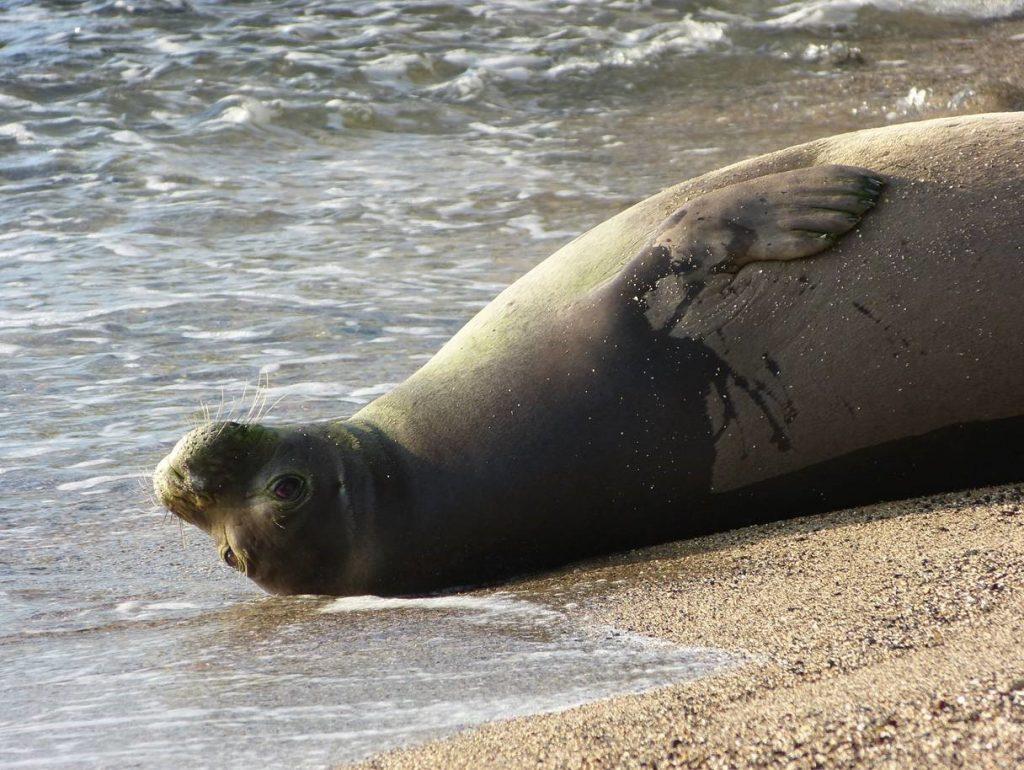 Hawaiian Monk Seal-2 by Shawn Caley