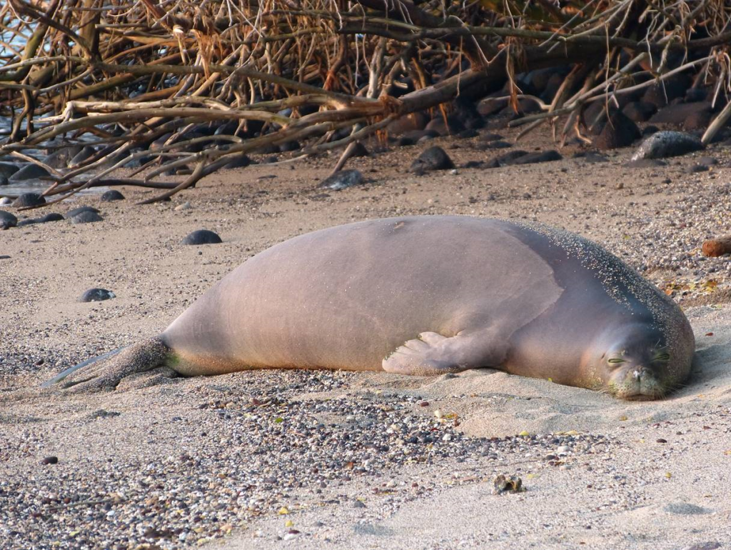 Hawaiian Monk Seal by Shawn Caley