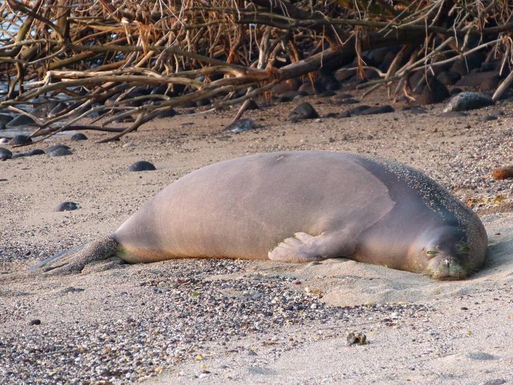 Hawaiian Monk Seal by Shawn Caley