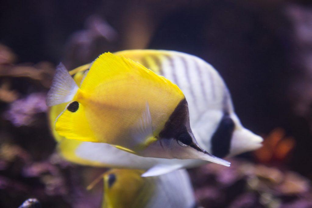 Longnose Butterflyfish Lauwiliwili nukunuku oioi - 3 (web)