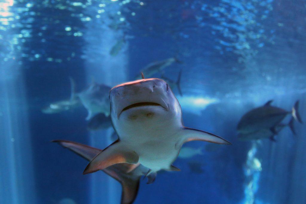 Native Intelligence Shark
