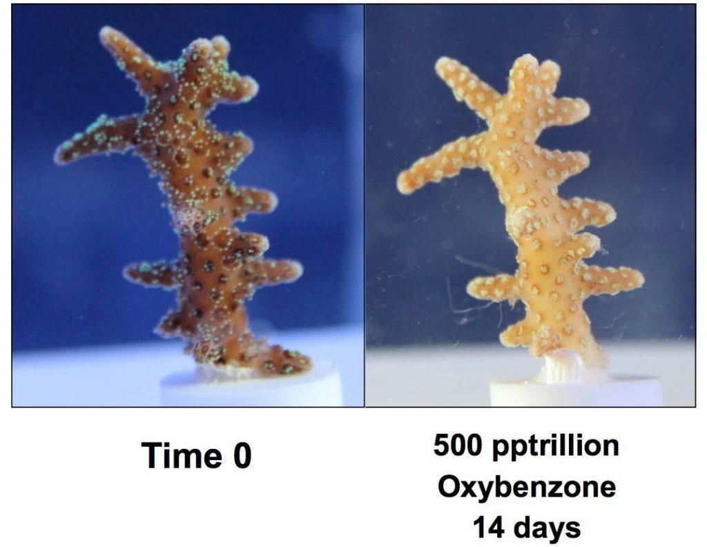 Sunscreen Ban Oxybenzone Corals
