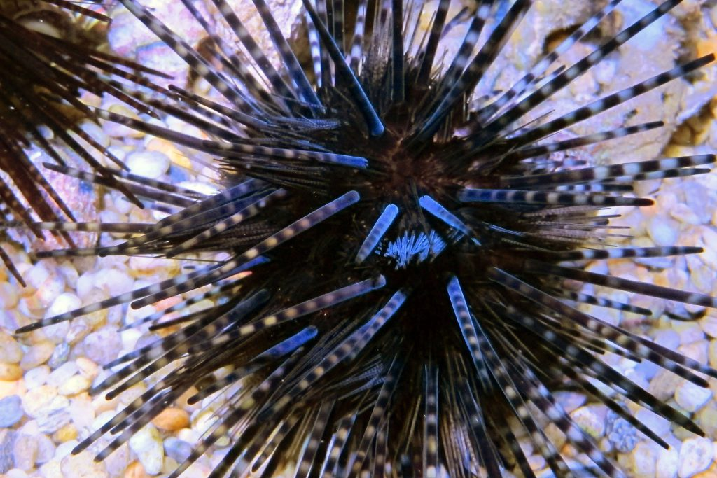 Banded Sea Urchin