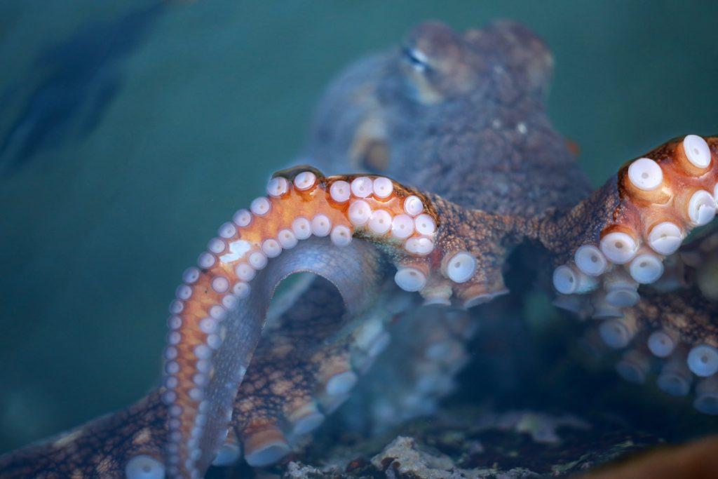 Octopus in Surge Zone Exhibit