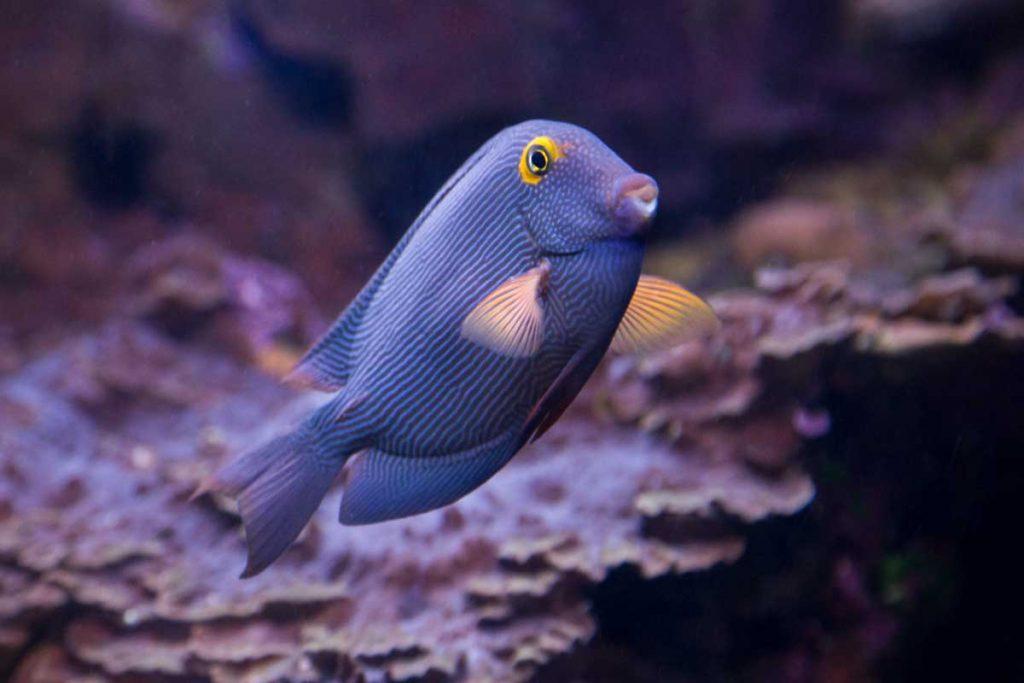 Goldring-Surgeonfish-(Kole)-web