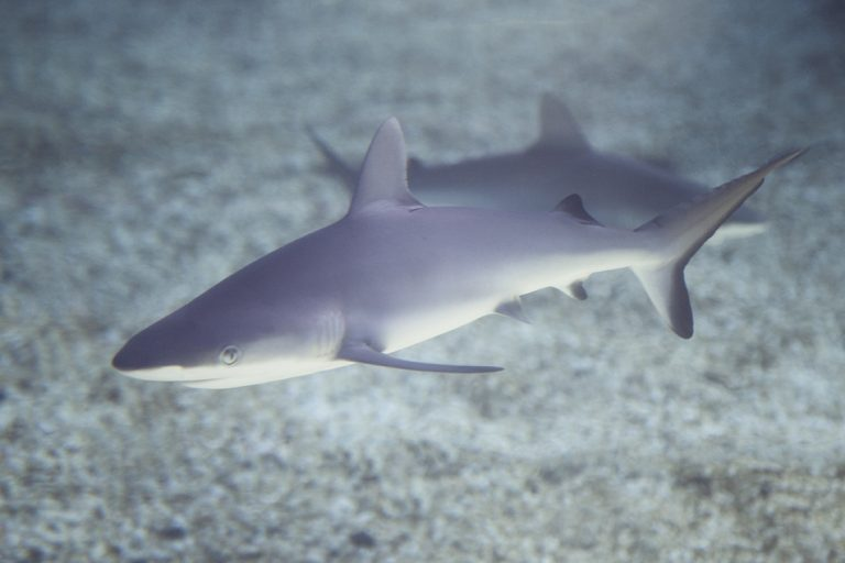 Grey Reef Shark, Pup, Mother's Day