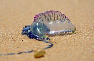 Portuguese Man-O-War Sea Jelly