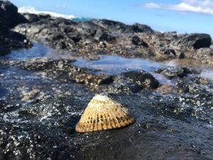 'Opihi. CREDIT: LILY SOLANO, MAUI OCEAN CENTER EDUCATION DIRECTOR