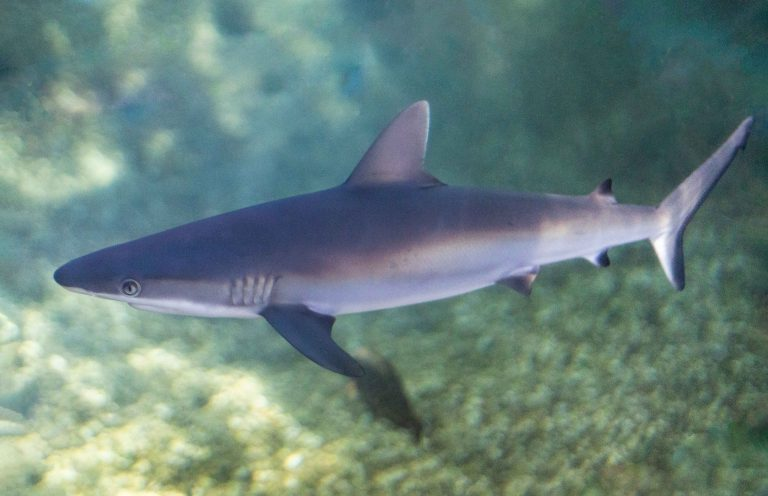 Grey Reef Shark Pups Born at Maui Ocean Center