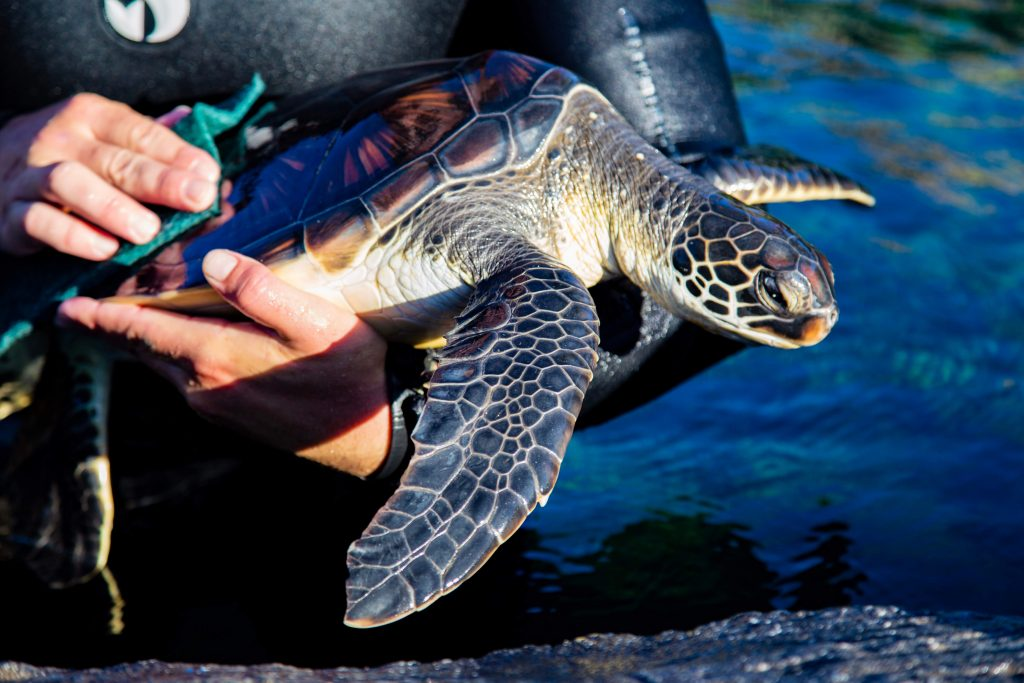All sea turtles are handled by Maui Ocean Center staff