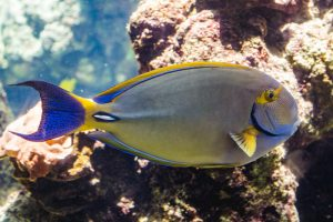 Maui Ocean Center Eyestripe Surgeonfish