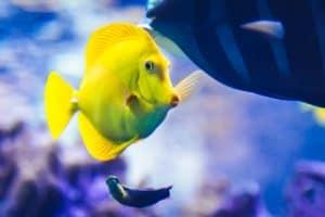 Maui Ocean Center Yellow Tang