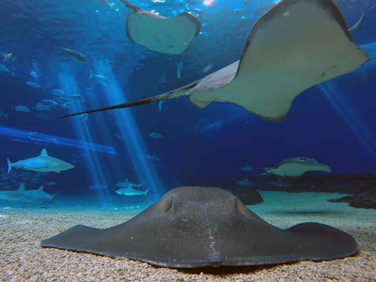 Broad Stingray