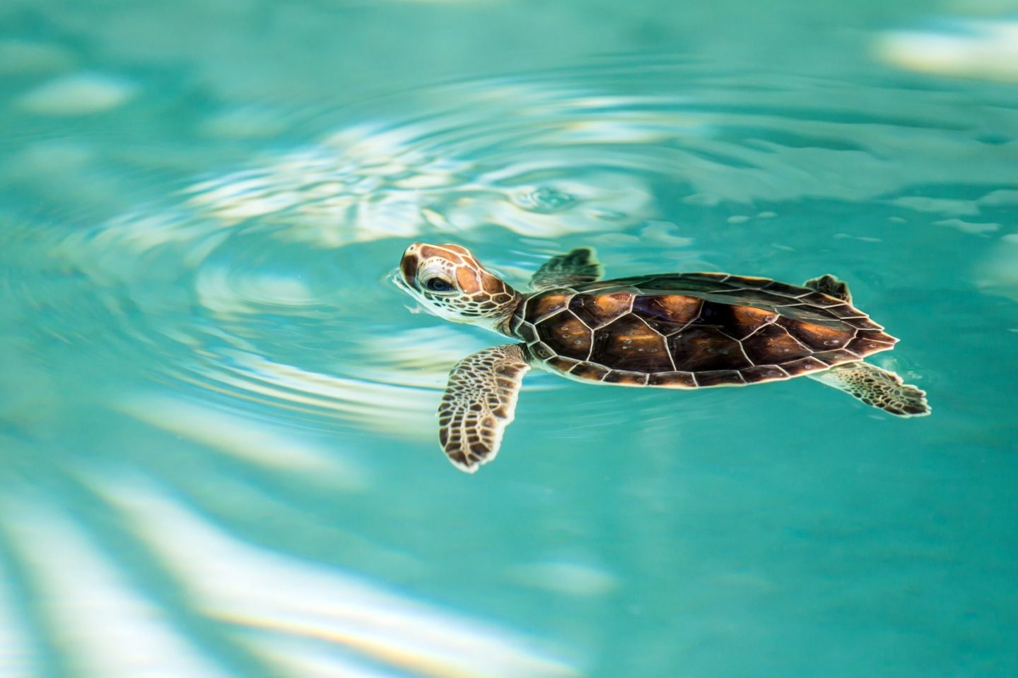 Cute endangered baby turtle swimming in turquoise water
