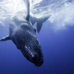 Whales sing a new song every year!